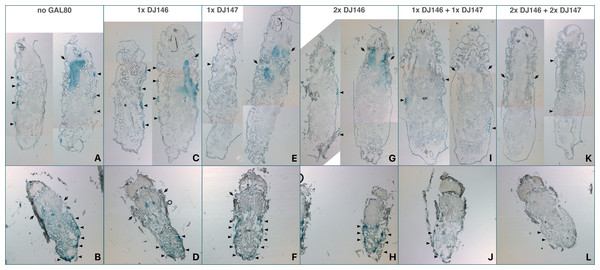 Distribution of DJ694-mediated UAS-lacZ expression in the absence of inducer visualized by X-gal staining of L3 larvae (A, C, E, G, I, K) and late pupae (B, D, F, H, J, L).