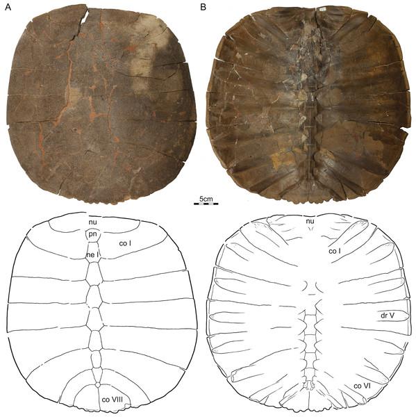 NDGS 353, Helopanoplia distincta, NDGS loc. 64, Slope County, North Dakota, USA, Hell Creek Formation, Late Cretaceous, Maastrichtian.