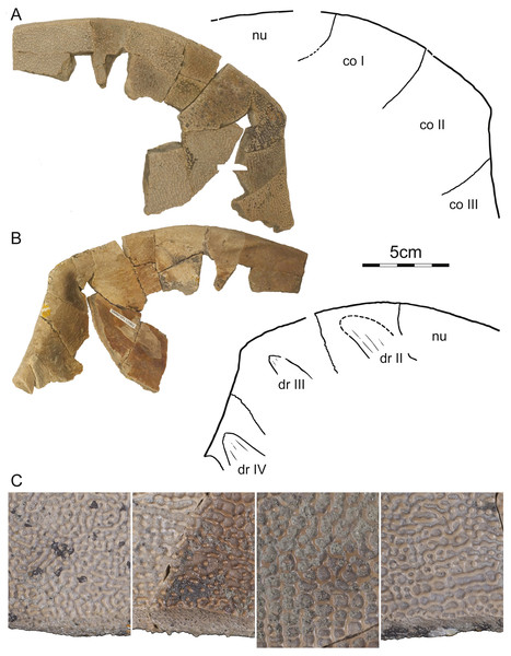 DMNH 125902, Helopanoplia distincta, DMNH loc. 7179, Fallon County, Montana, USA, Hell Creek Formation, Late Cretaceous, Maastrichtian.
