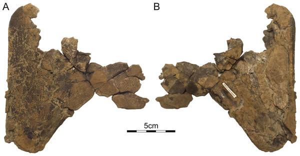 DMNH 125901, Helopanoplia distincta, DMNH loc. 5873, Slope County, North Dakota, USA, Hell Creek Formation, Late Cretaceous, Maastrichtian.
