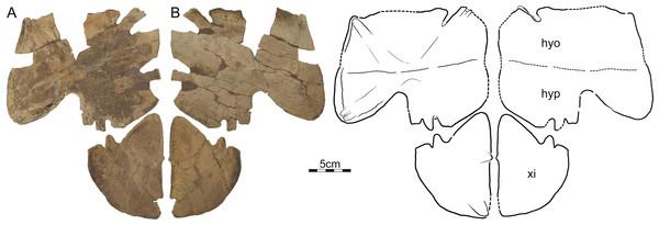 DMNH 125900, Helopanoplia distincta, DMNH loc. 5853, Fallon County, Montana, USA, Hell Creek Formation, Late Cretaceous, Maastrichtian.