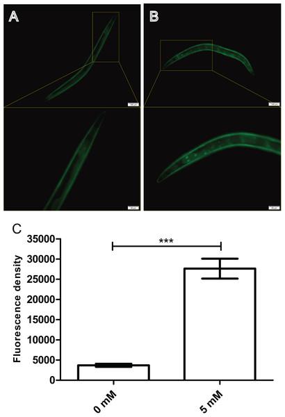 Effect of arbutin on DAF-16::GFP nuclear localization in transgenic strain TJ356.