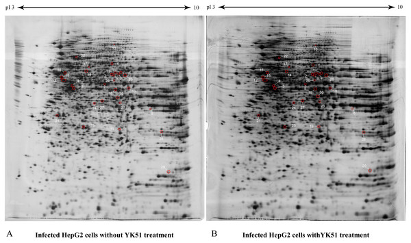 The proteome maps of differentially expressed whole cell proteins in DENV2-infected HepG2 cells with and without YK51 treatment.