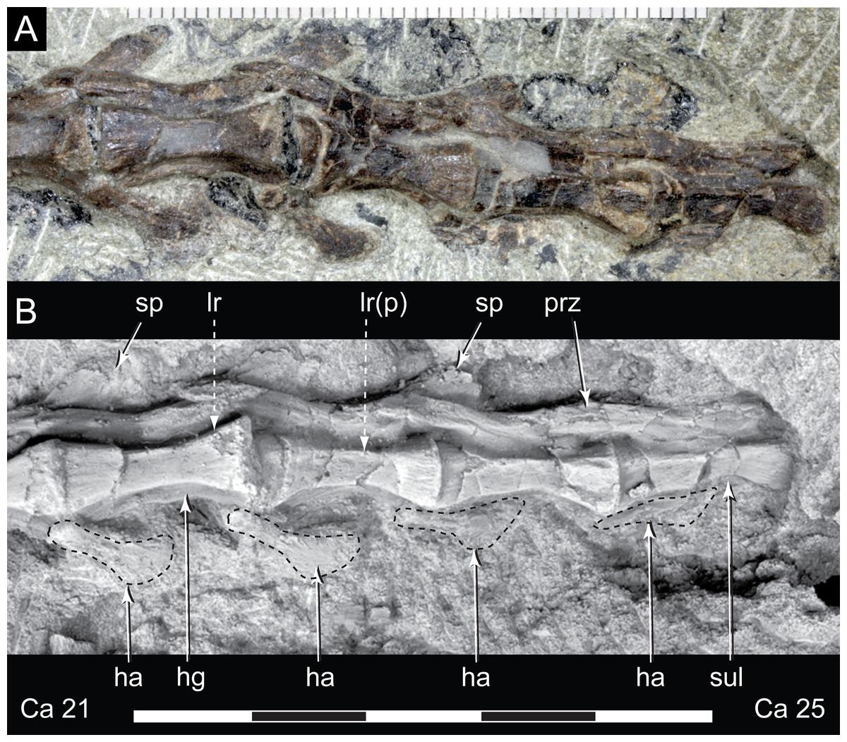 A new small-bodied ornithopod (Dinosauria, Ornithischia