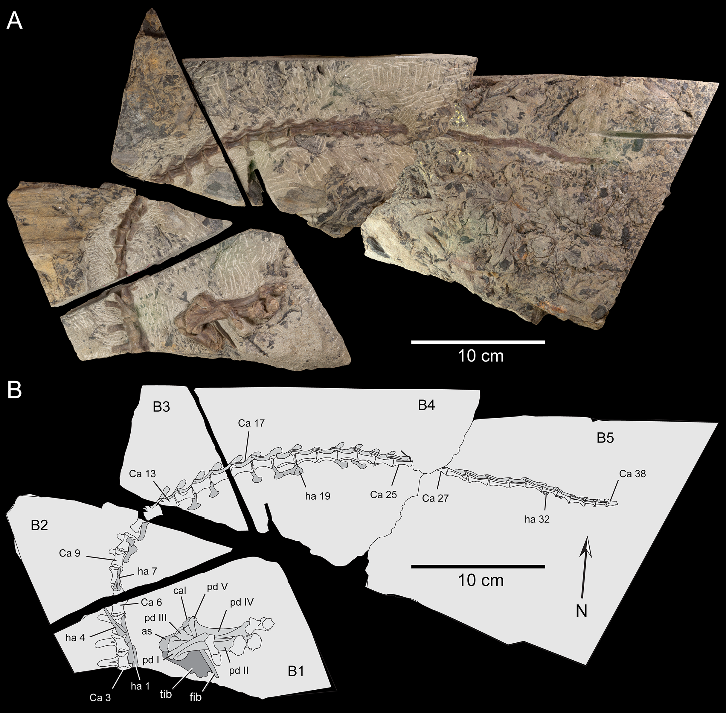 A new small-bodied ornithopod (Dinosauria, Ornithischia) from a deep