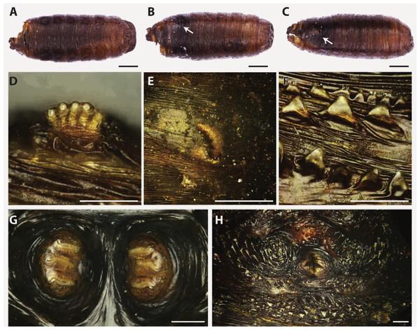 Hydrotaea capensis.