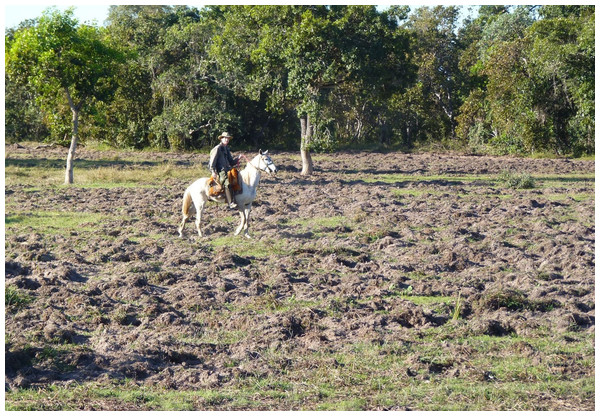 Ground rooting by feral pigs in northern Pantanal showing their activity in pasture areas.