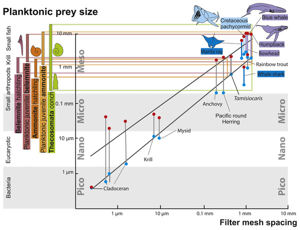 Zooplankton size ranks and filter mesh spacing of planktivorous filter feeders.