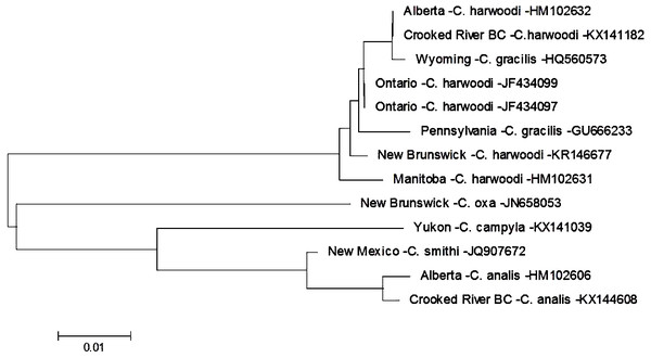 Phylogenetic tree of Cheumatopsyche spp. collected from the Crooked River and congeneric COI-5P DNA sequences of Cheumatopsyche species with DNA barcodes.