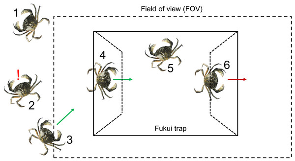 A visual representation of the six steps required for a green crab to be captured.