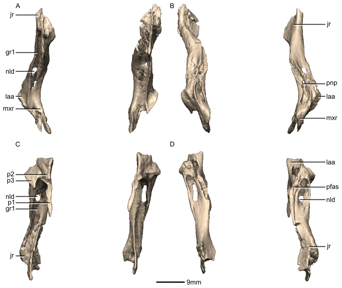 A Revised Cranial Description Of Massospondylus Carinatus Owen