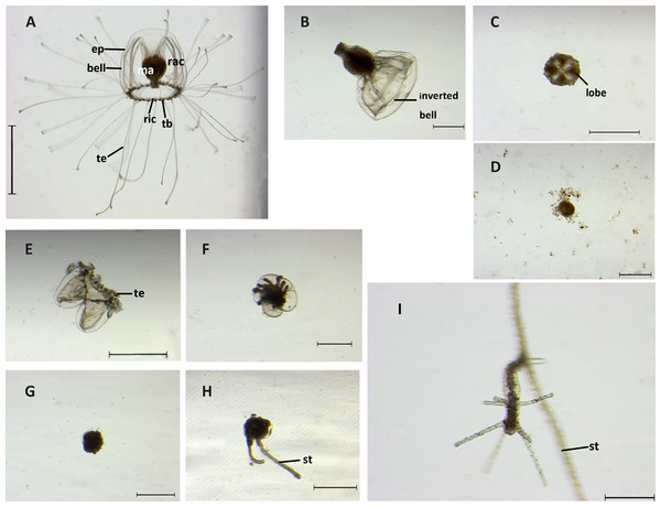 Stages of reverse development in Turritopsis sp.5 from Xiamen, China.