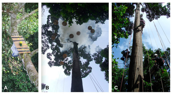 Ant communities were sampled using (A) bait-based purse-string trapping and (B) fogging with fogging machine and trays hoisted into the canopy. Both methods exclusively sample ants in the crown of the focal tree and were conducted using rope access (C).