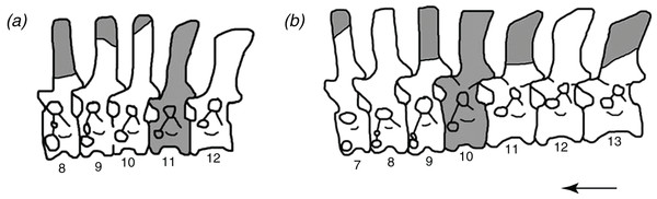 "The reconstructed vertebral columns of both individuals of Poposaurus langstoni from the holotype locality TMM 31025, (A) individual ""A"" and (B) individual ""B."""