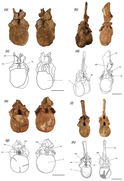Trunk vertebrae of Poposaurus langstoni in anterior (left) and posterior (right) views.