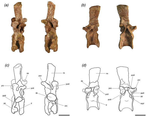Lateral views of (A, C) one posterior cervical (TMM 31025-1262, presacral 8) and (B, D) one trunk (TMM 31025-257, presacral 12) from individuals 'B' and 'A', respectively, of Poposaurus langstoni.