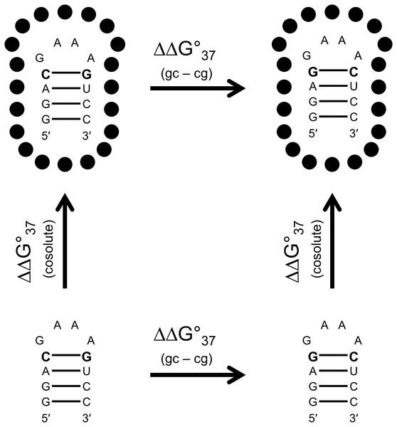 Thermodynamic analysis of GAAA hairpins.