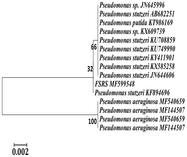 Neighbor-joining phylogenetic tree derived from aligning the most similar 16S rRNA sequences in related taxa for a phylogenetic analysis of the bacterial isolate (FSRS) by MEGA 7.