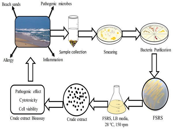 Schematic representation of beach sand sample collection from the collection site, and the processing, identification, and effect of the FSRS crude extract on the adhesion and viability of HaCaT cells in vitro.