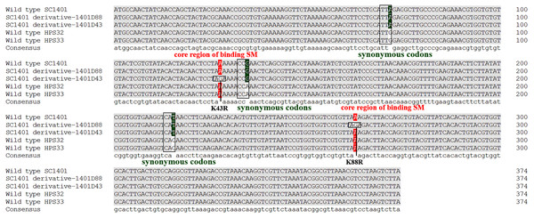 Mutation sites in rpsL gene of derivatives 1401D43 and 1401D88 as well as two wild type SM-resistant H. parasuis.