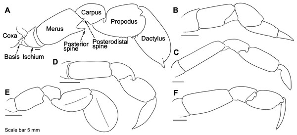Representative portunid natatory leg morphology and divergent, symbiotic caphyrine forms.
