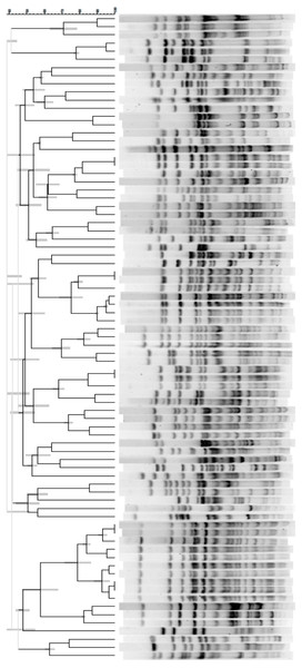 Phylogenetic tree of E. coli genotypic relationships isolated from 79 rhesus macaques in group I.