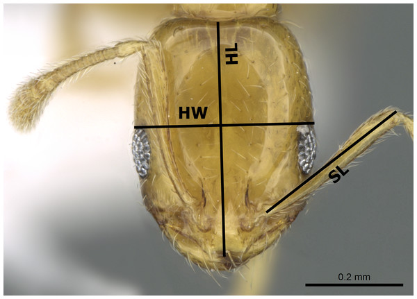 Head in full-face view of M. holothir Bolton (CASENT0906392, from https://www.antweb.org/specimenImages.do?name=casent0906392countryName=Seychelles—Estella Ortega) illustrating the used measurements.