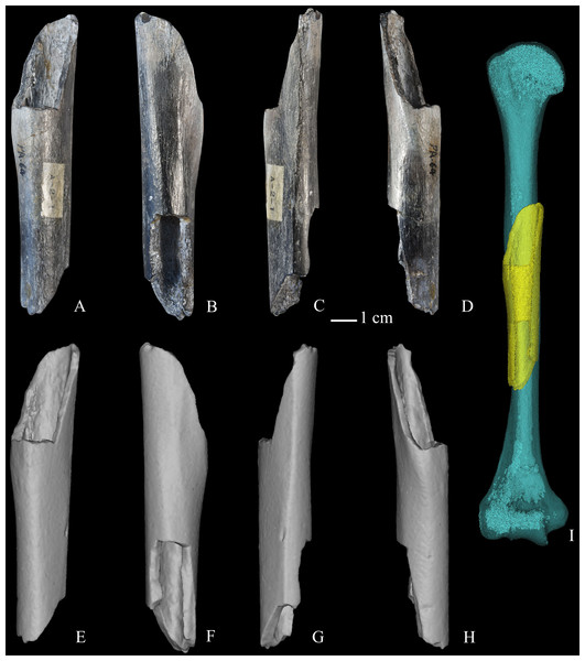 Zhoukoudian partial right humerus (PA64, Humerus III).