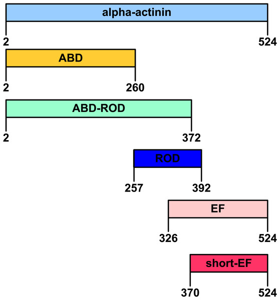 Domain organization of Bigelowiellaα-actinin-like protein.