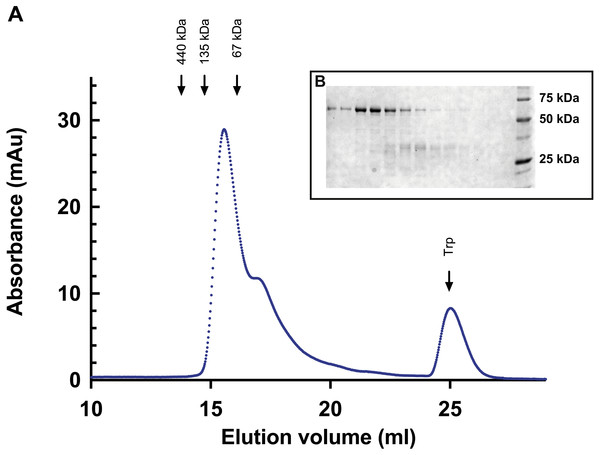 Gel filtration of Bigelowiellaα-actinin-like protein.