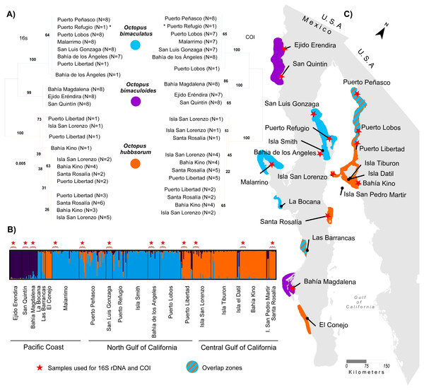 Genetic assignment of octopus samples from fishing localities in Northwest Mexico to three species.