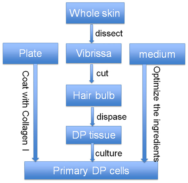 Optimized strategy for the isolation and culture of DP cells.