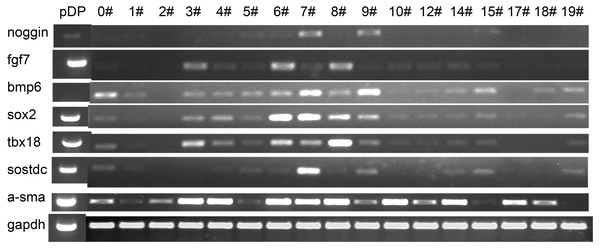 Expression pattern of the iDP6.