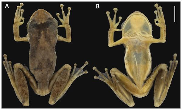 Holotype of Scinax ruberoculatus. sp. nov. INPA-H 34665.