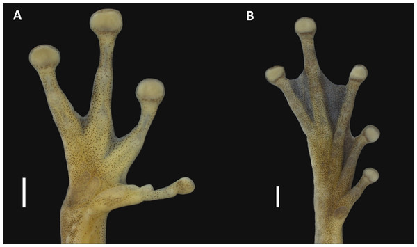 Hand and foot of the holotype of Scinax ruberoculatus sp. nov. INPA-H 34665.