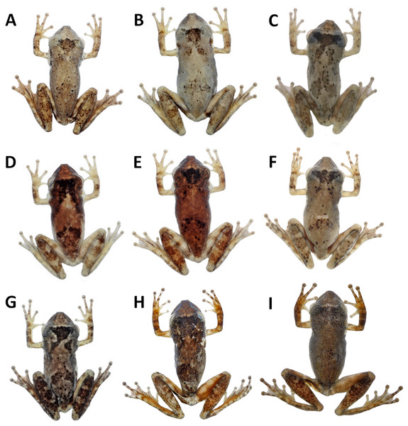 Variation in the dorsal colouration from preserved specimens of Scinax ruberoculatus sp. nov.