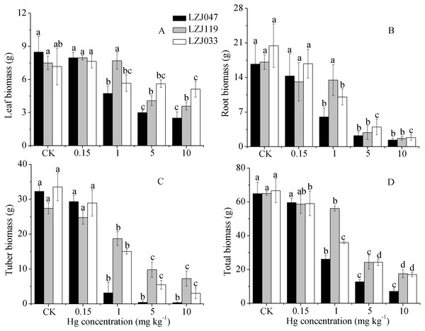 The effects of mercury stress on leaf biomass (A), root biomass (B), tuber biomass (C) and total biomass (D) of LZJ047, LZJ119 and LZJ033 after six months of cultivation.