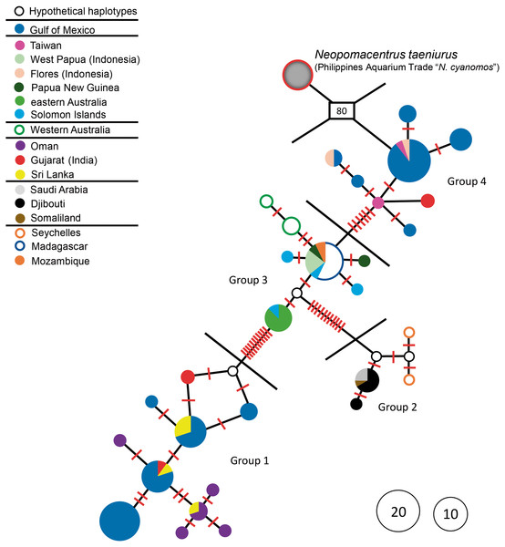 Haplotype network.