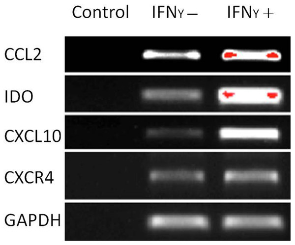 Chemokine and migration-related genes were up regulated in IFNγ-treated MSCs.