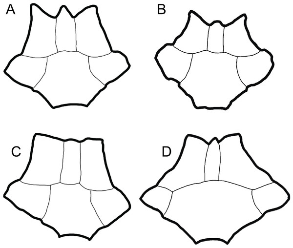 Comparison of dorsal views of nuchals of fossil Trachemys species.