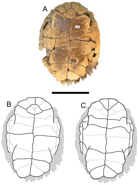 Trachemys haugrudi, holotype shell (ETMNH–8549).