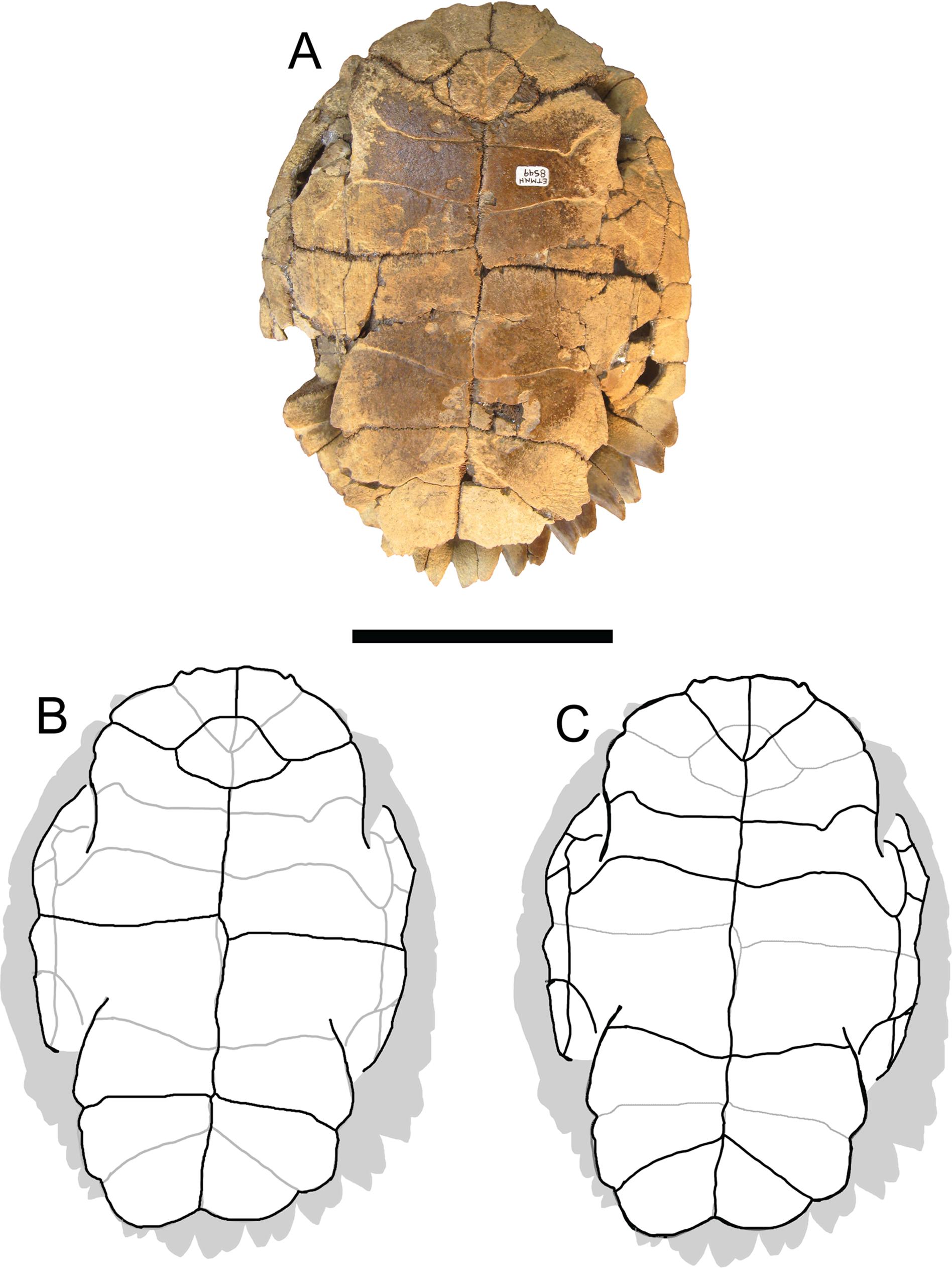 A new slider turtle (Testudines: Emydidae: Deirochelyinae