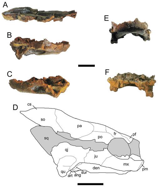 Trachemys haugrudi, paratype skull (ETMNH–3562).