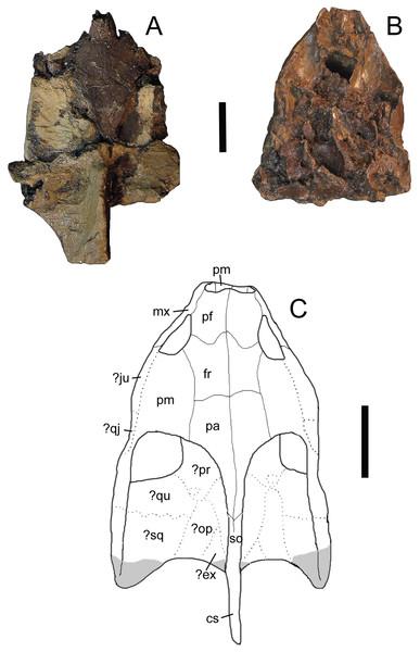 Trachemys haugrudi, paratype skull (ETMNH–3562) in dorsal view.