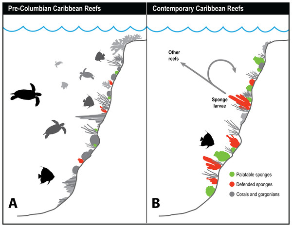 History of sponge communities on Caribbean fore-reefs.