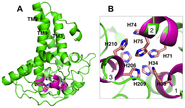 Analysis of Pseudomonas sp. AMS8 Δ9-fatty acid desaturase model showing the overall cartoon representation of the structure, the transmembrane domains are labelled TM1, TM2 and TM3.