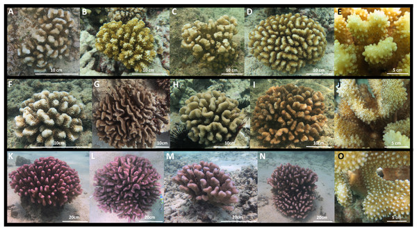 Images of Pocillopora ligulata colonies, (A)–(E); P. meandrina colonies, (F)–(J); and P. eydouxi colonies, (K)–(O) from O'ahu, Hawai'i.