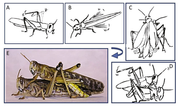 Representative behavioral elements observed during the pre-mounting (A–B) and mounting (C–E) stages