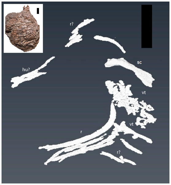 CT reconstruction of internal skeleton with coarser scan (1 mm).