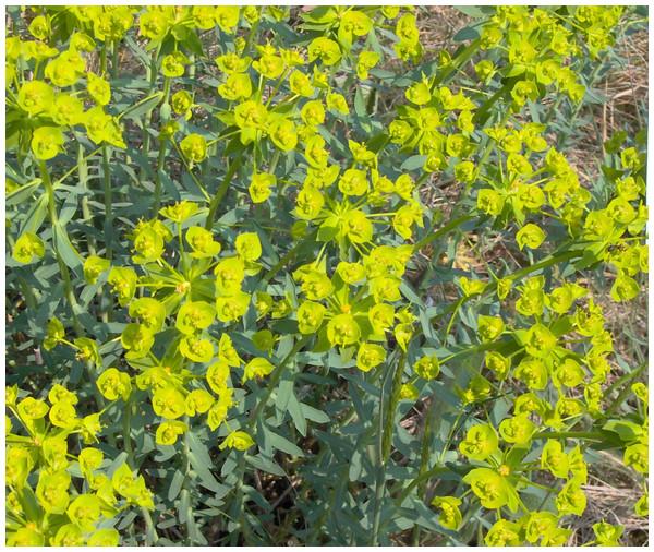 Euphorbia seguieriana.